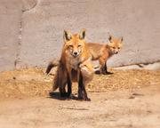 10th May 2020 - mommy fox