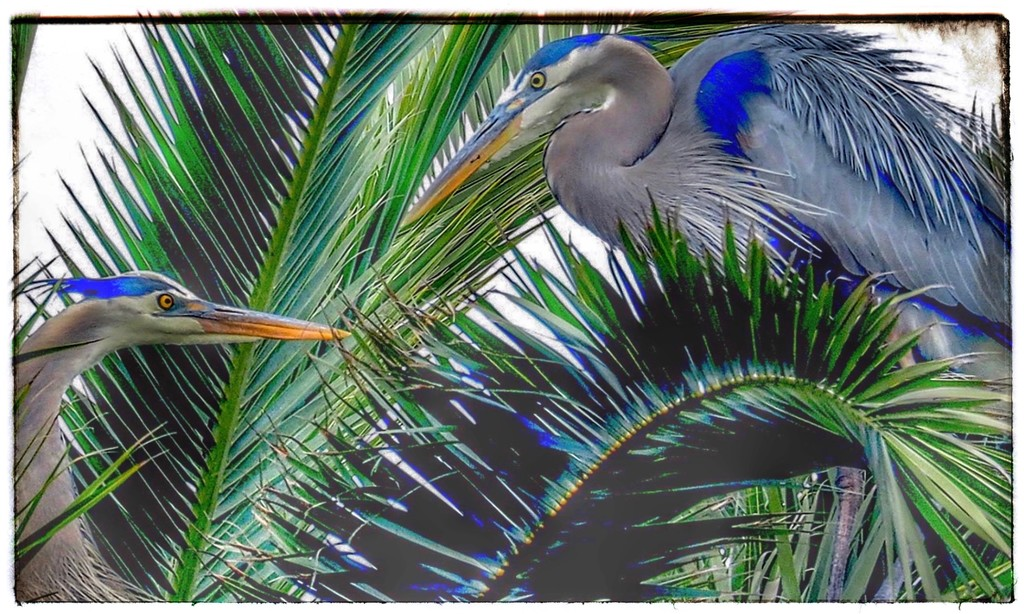 Blue Herons by redy4et