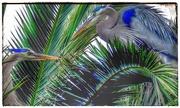 10th May 2020 - Blue Herons