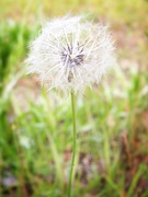10th May 2020 - Smooth Hawksbeard seed head