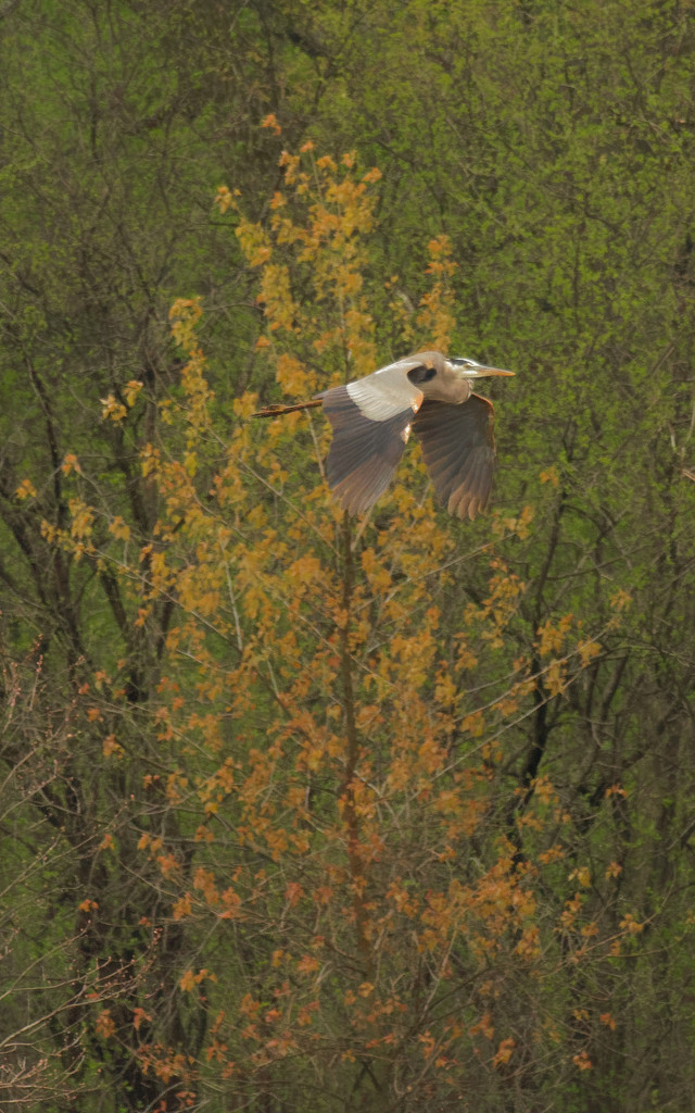 great blue heron before a spring tree by rminer