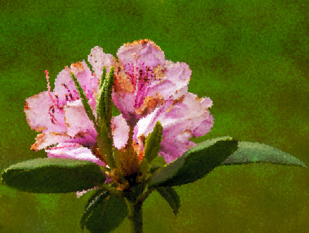 The Rhododendron by randystreat