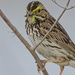 Small snack for a Savannah Sparrow by mikegifford