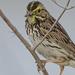 Small snack for a Savannah Sparrow