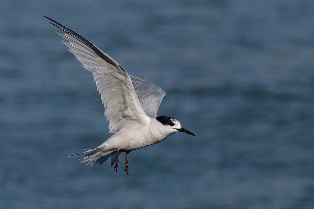 White fronted tern in flight by maureenpp