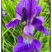 Iris by pamknowler