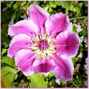 11th May 2020 - Clematis