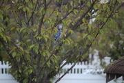 10th May 2020 - Blue Jay