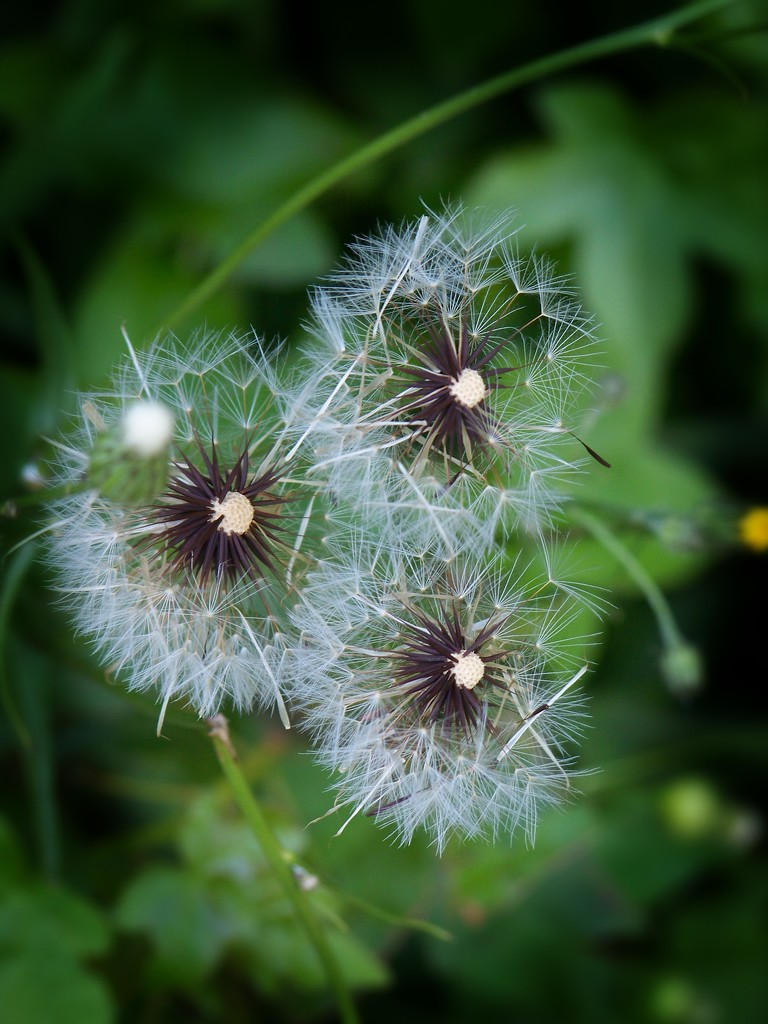 Three Seed Heads - Smooth Hawksbeard by marlboromaam