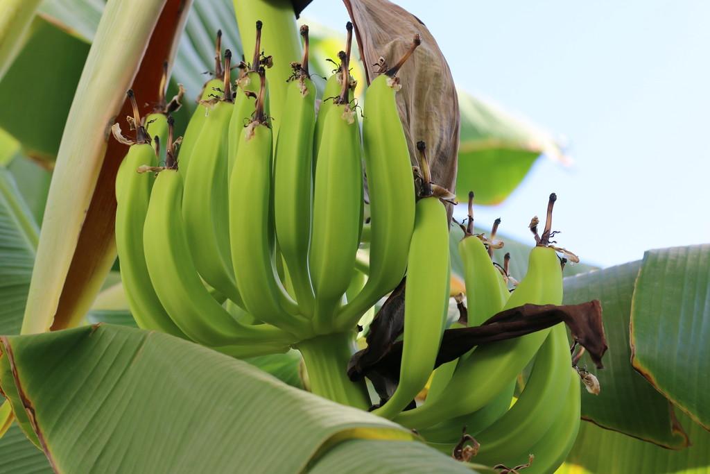 Bananas by ingrid01