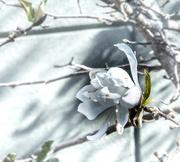10th May 2020 - Magnolia