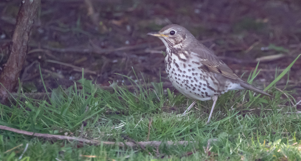 Song Thrush by lifeat60degrees