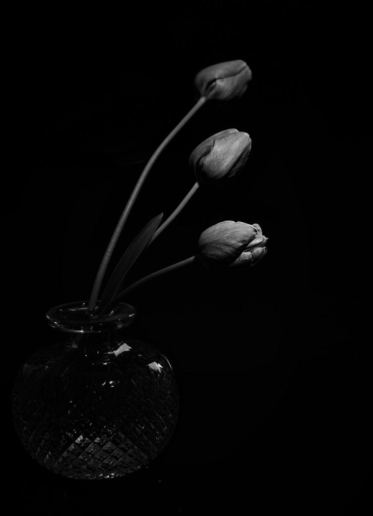 Tulips by joysabin