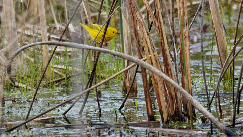 Yellow warbler by rminer