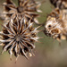Velvet leaf seed heads by lindasees