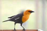 11th May 2020 - Yellow-Headed Blackbird