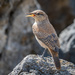 Rock Wren by backyardbirdnerd