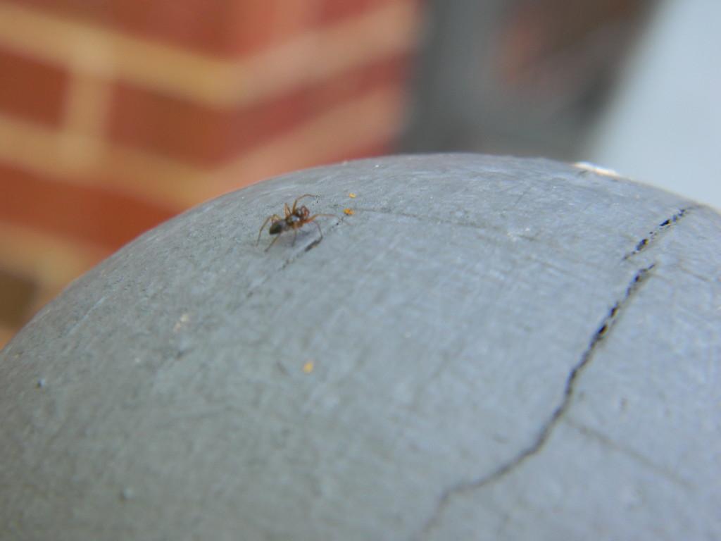 Ant on Rail Knob by sfeldphotos