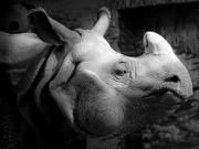11th May 2020 - the eye of the rhino...