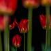 Tulips by tosee