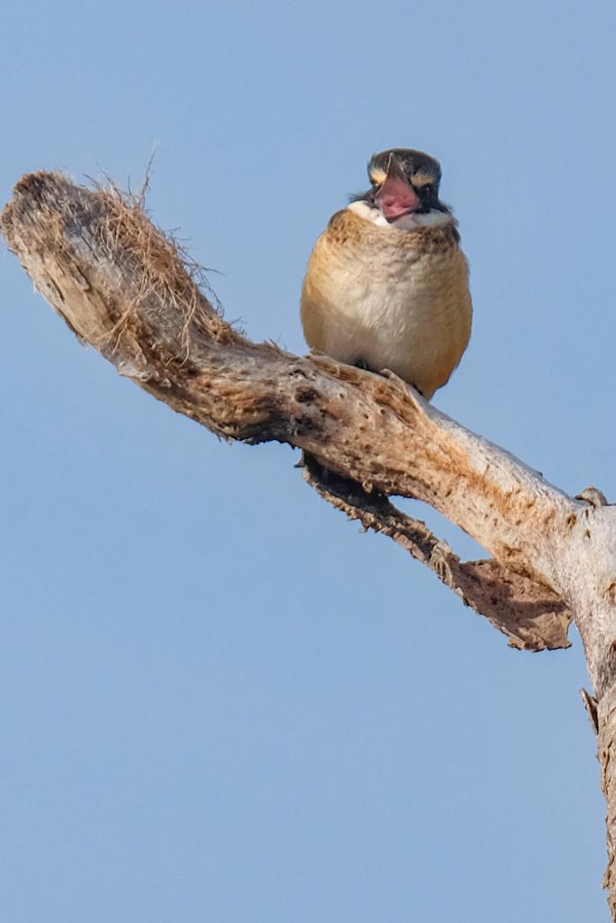 Chatty kingfisher by maureenpp