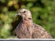 12th May 2020 - Cape Turtle Dove