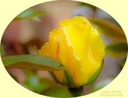 12th May 2020 - Rosebud