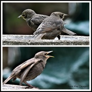 12th May 2020 - The young starlings