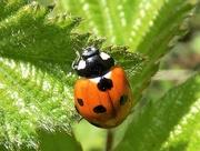 11th May 2020 - Seven spot ladybird