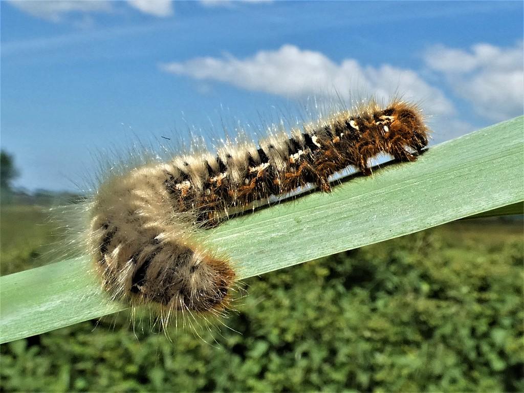 Oak Eggar caterpillar by julienne1