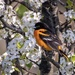 Baltimore Oriole by dridsdale