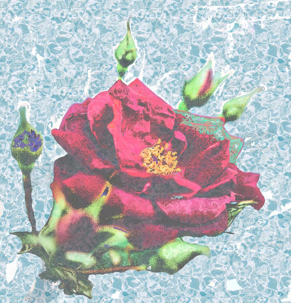 a rare rose  by mamazuzi