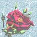 a rare rose