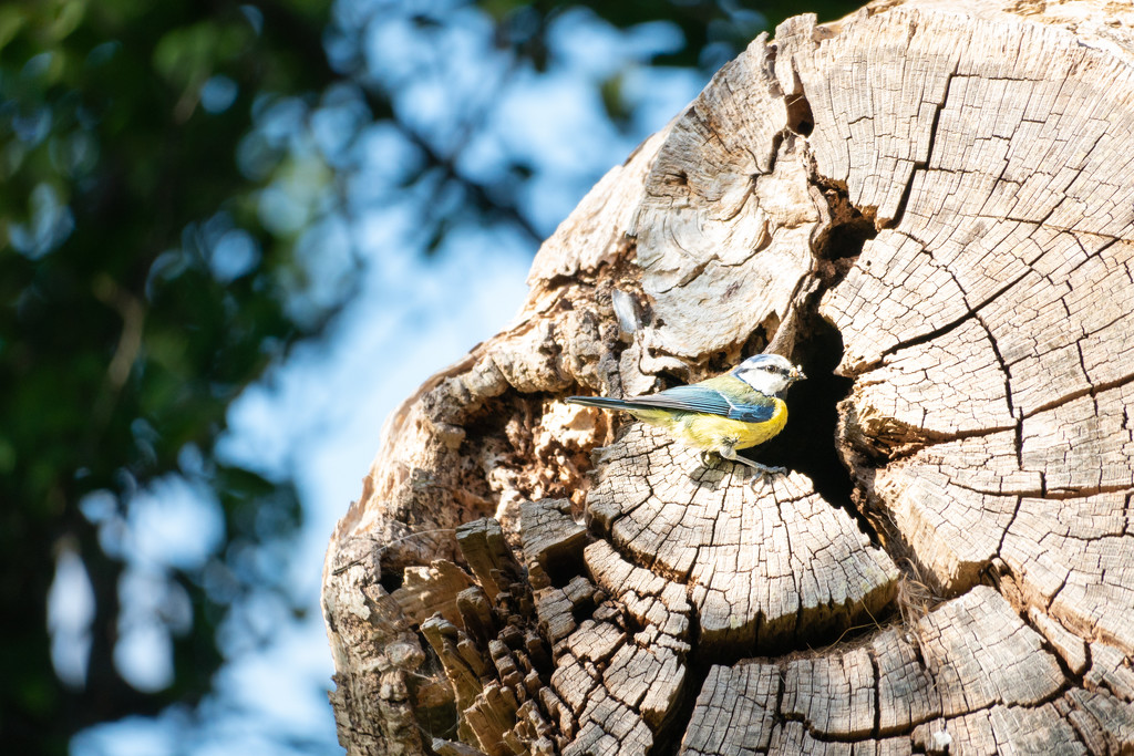Blue Tit in the Park by humphreyhippo