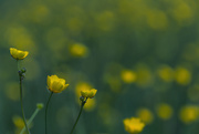 12th May 2020 - Buttercups