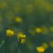 Buttercups by rumpelstiltskin