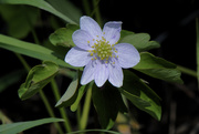 12th May 2020 - rue anemone