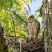 Red-Shouldered Hawk (teenager)