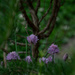 Chives. In the woods? by randystreat