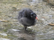 28th Apr 2020 - Young Moorhen