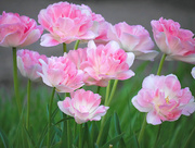 10th May 2020 - Double Tulips