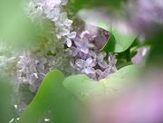5th May 2020 - Softly Lilac