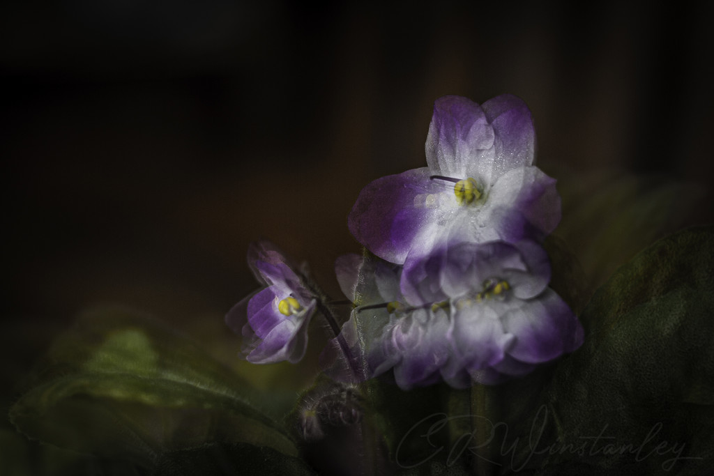 African Violet (Pep Ventosa inspired) by kipper1951