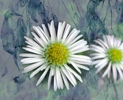 11th May 2020 - Daisies on blue..