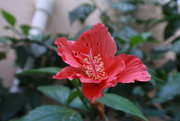 12th May 2020 - Hibiscus