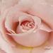 Rose Up Close by pej2