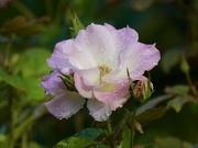 13th May 2020 - Still Blooming P5130910