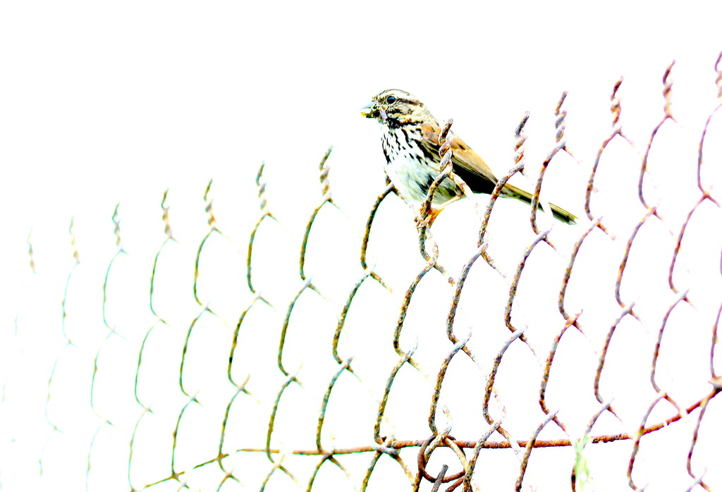 Bird on a Fence by redy4et