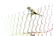 12th May 2020 - Bird on a Fence
