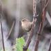 Shetland Wren by lifeat60degrees